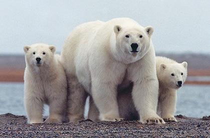 isbjörn med ungar