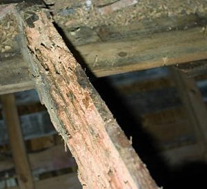 Röta lever på cellulosan i trä och bryter på så vis ned träet, så att dess bärighet försvagas